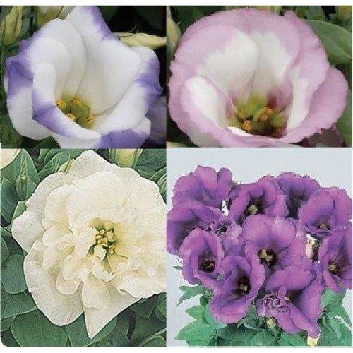 Flower - Lisianthus Sapphire Mixed - 50 Seeds