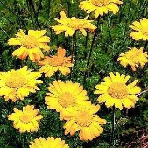 Herb - St Johns Chamomile - Anthemis Sancti-Johannis - 250 Seeds