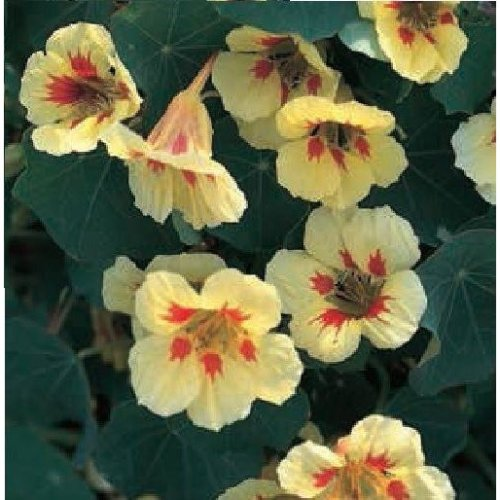 Flower - Nasturtium - Peach Melba - 40 seeds