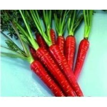 Vegetable - Carrot - Red Samurai F1 - 100 Seeds