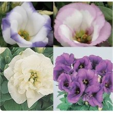 Flower - Lisianthus Sapphire Mixed - 50 Seeds