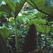 Flower - Gunnera Manicata - Giant Rhubarb - 2g