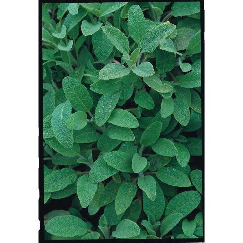 Herb - Sage - 50 Seeds