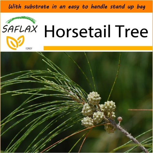 SAFLAX Garden in the Bag - Horsetail Tree - Casuarina - 200 seeds