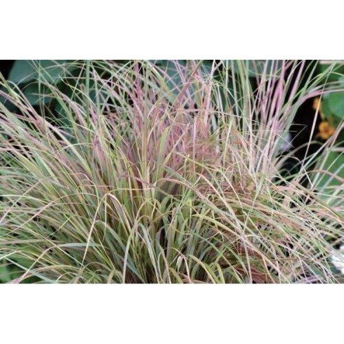 Grass - Anemanthele Sirocco - 50 Seeds