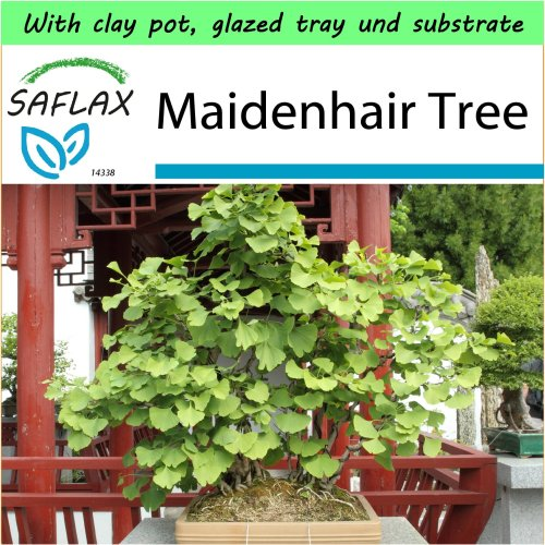 SAFLAX Garden to Go - Bonsai - Maidenhair Tree - Ginkgo - 4 seeds