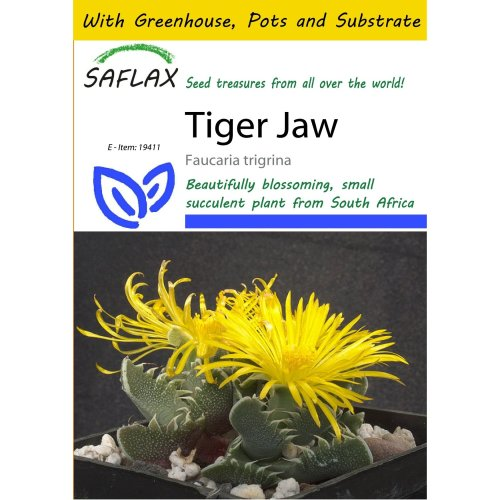 Saflax Potting Set - Tiger Jaw - Faucaria Trigrina - 40 Seeds - with Mini Greenhouse, Potting Substrate and 2 Pots